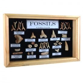 Collection fossils - 45-70 million years - glass display cabinet - new